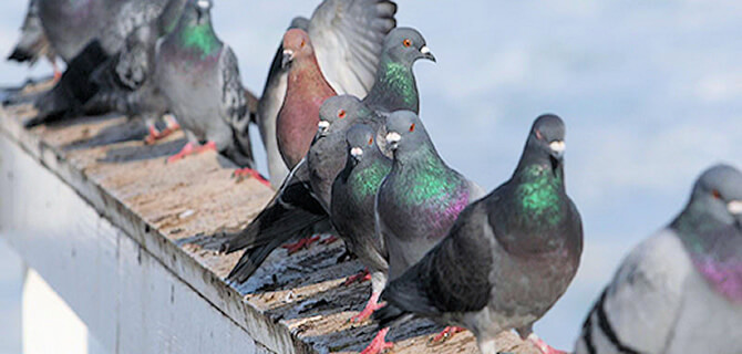 Why It Is Necessary To Hire Professional Pigeon Guano Removal?